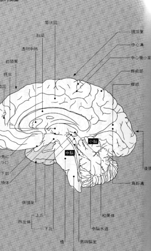 """闘う脳「大脳辺練系」  Fighting brain """"limbic system"""""""